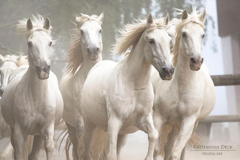 Camargue Pferde im Freilauf